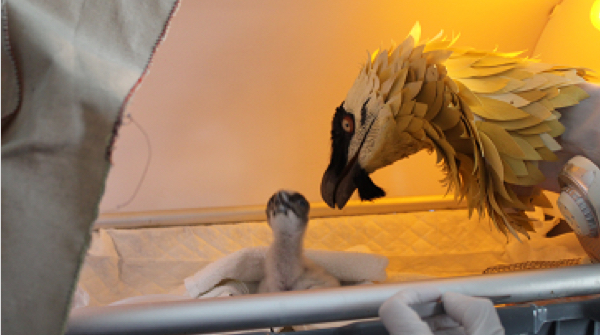 bearded-vulture-recober-project-fundacion-iberdrola-espana-2