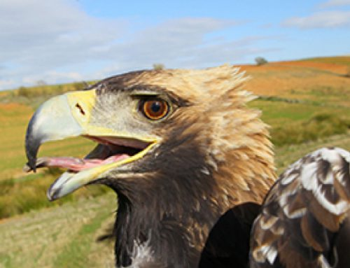 Reintroduction of the Spanish Imperial Eagle